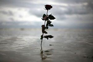 rosa_marchita
